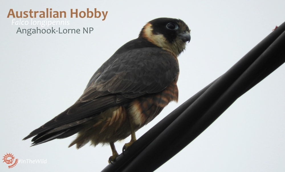 hobby falcon near Melbourne Great Ocean Road