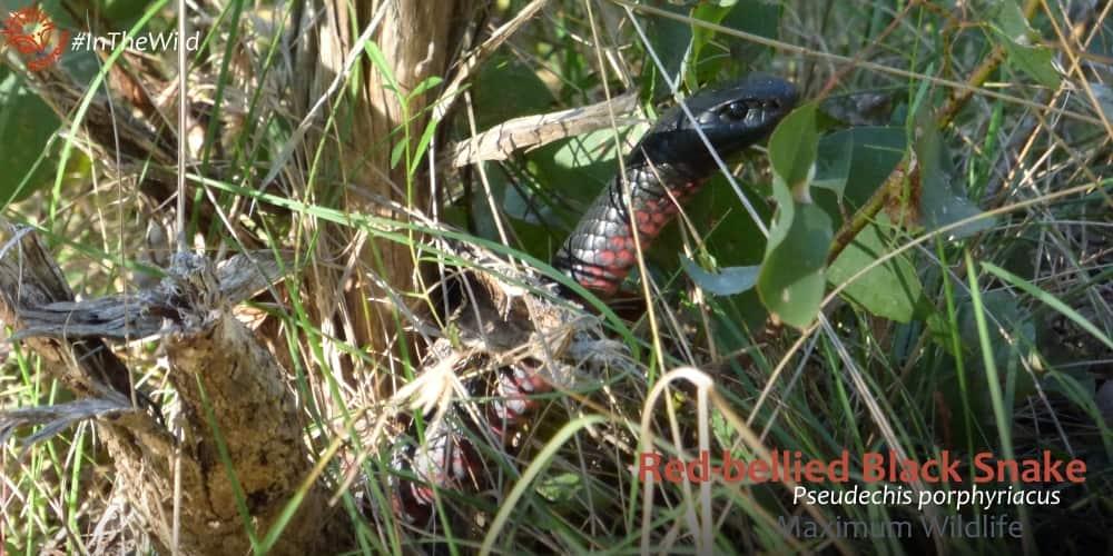 elapid snakes of Australia East Gippsland