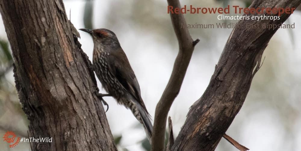 australasian treecreeper east gippsland