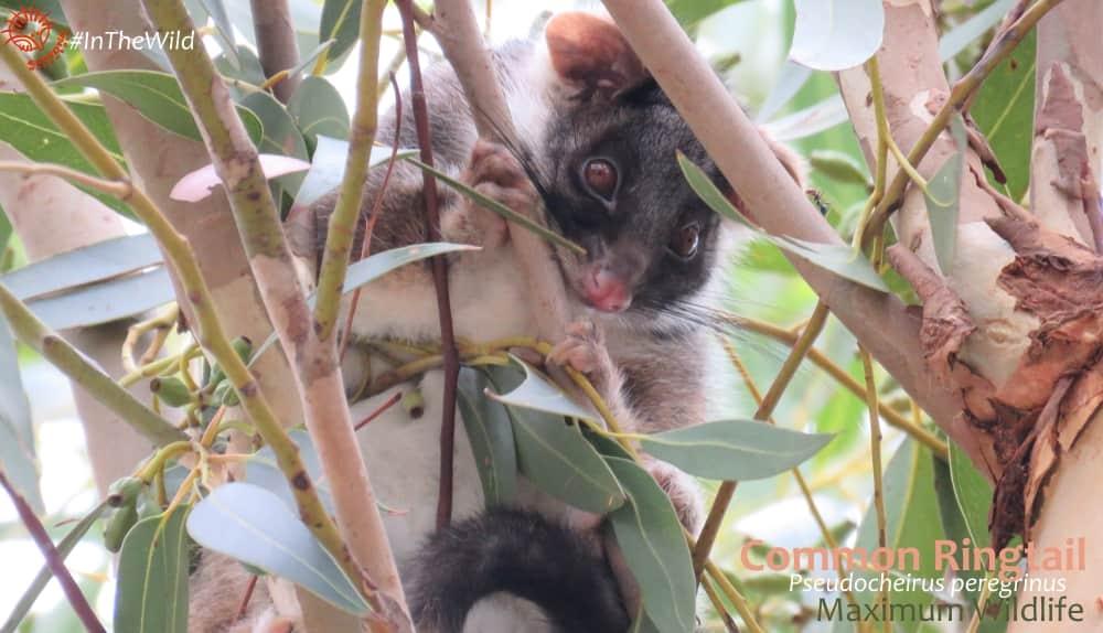 watching ringtail possum