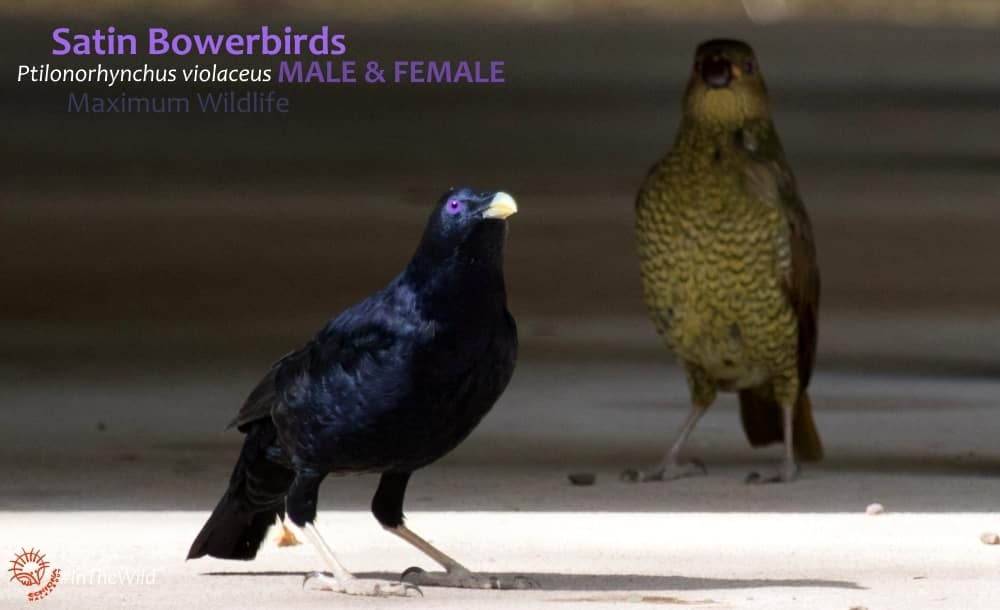 watching Satin Bowerbirds male and female