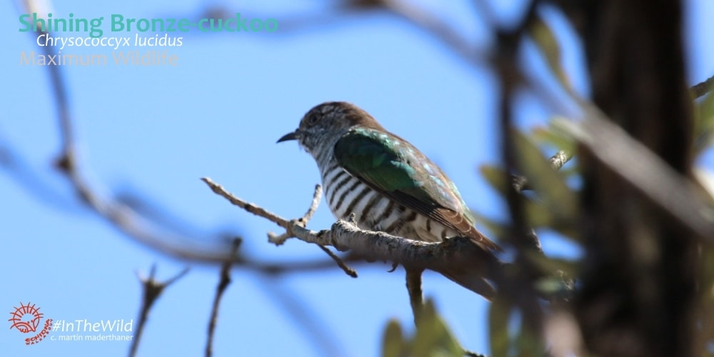 where to see native cuckoos Australia