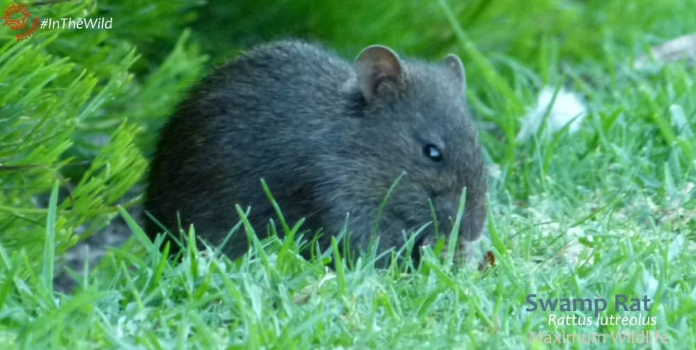 endemic rodents of Australia - swamp rat