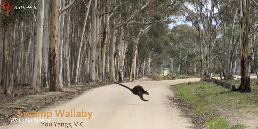 wallaby hopping fast