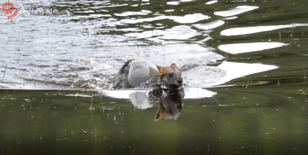Kangaroo wallaby swimming
