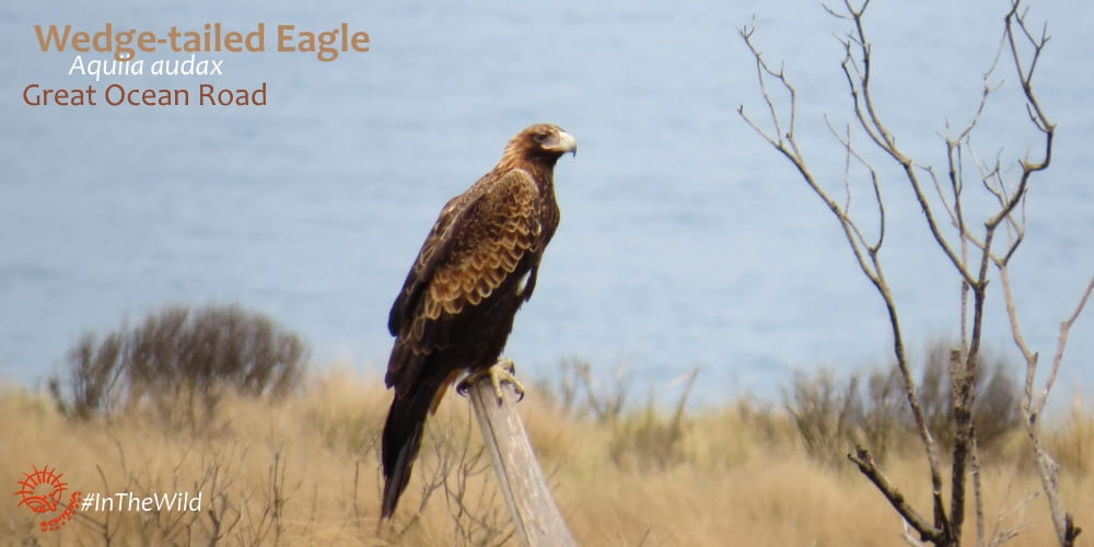 Wedge-tailed Eagle Great Ocean Road