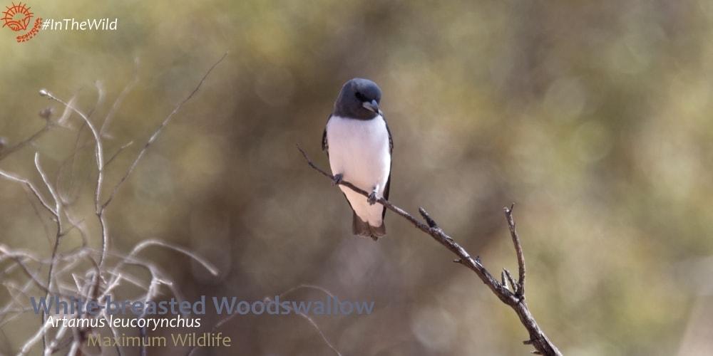 where to watch artamids woodswallows Australia