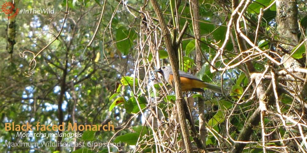 watching Australian birds - black-faced monarch in East Gippsland