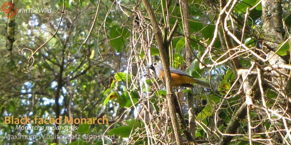 watching Australian birds - black-faced monarch in East Gippsland