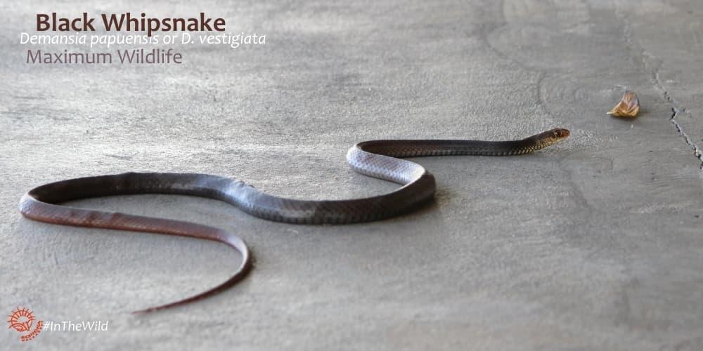 black whipsnake northern territory maximum wildlife