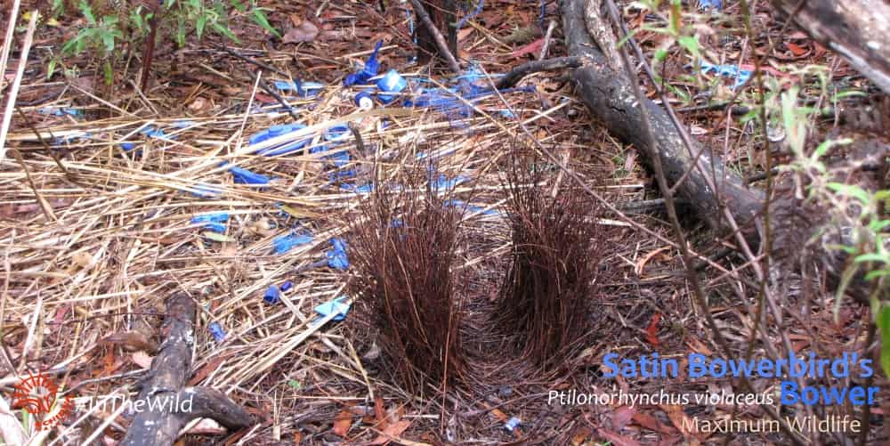 courtship bower of satin bowerbird east gippsland