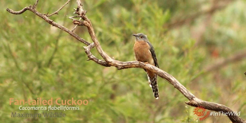 cuckoos of Australia