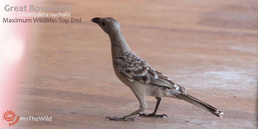 great bowerbird northern territory Australia
