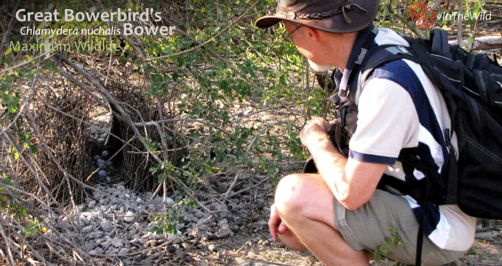 Wildlife Guide with Great Bowerbird bower