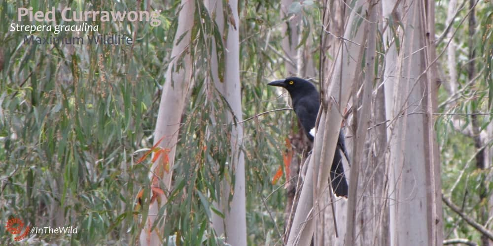 currawong in forest Maximum Wildlife