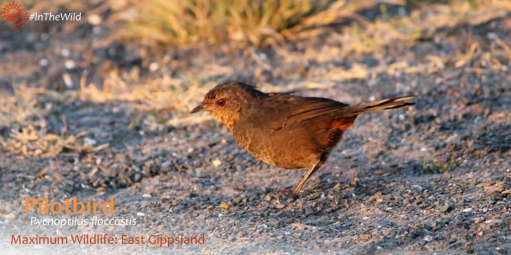 Pilotbird at sunset Cape Conran, Maximum Wildlife tour