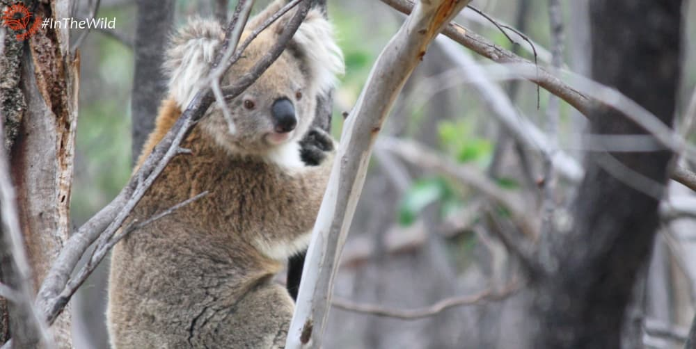 About wild koala female Babarrang