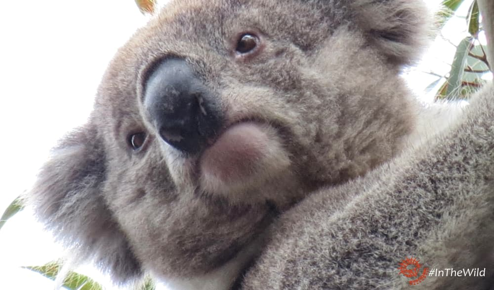 young male koala face