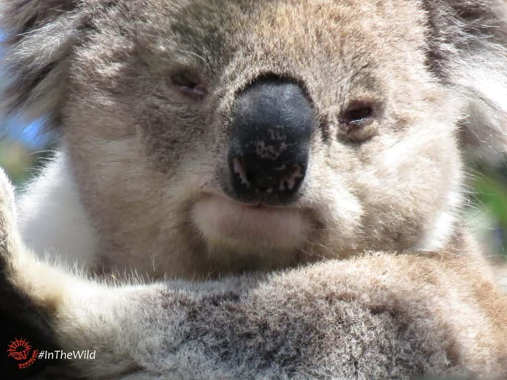 wild male koala You Yangs