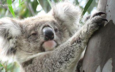 About Koala Djadja