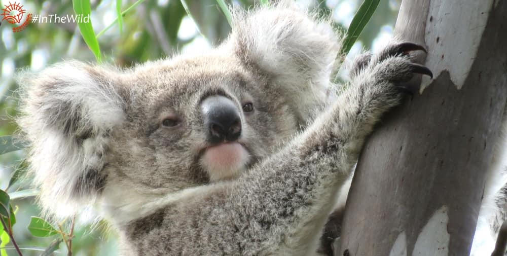 pretty 12 month old female koala