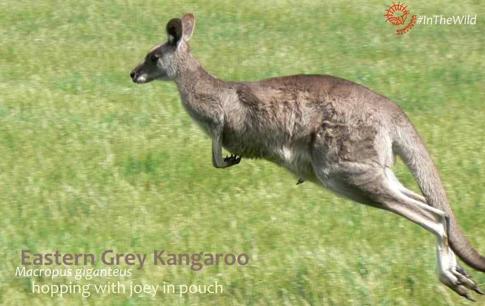 Female Kangaroo Macropus giganteus hopping with joey facts