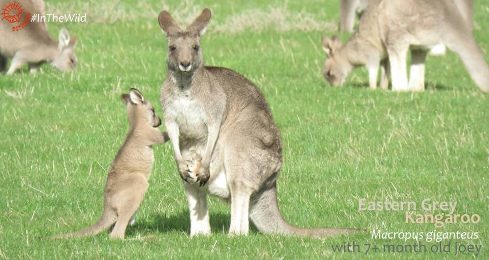 Kangaroo joey demands to enter pouch