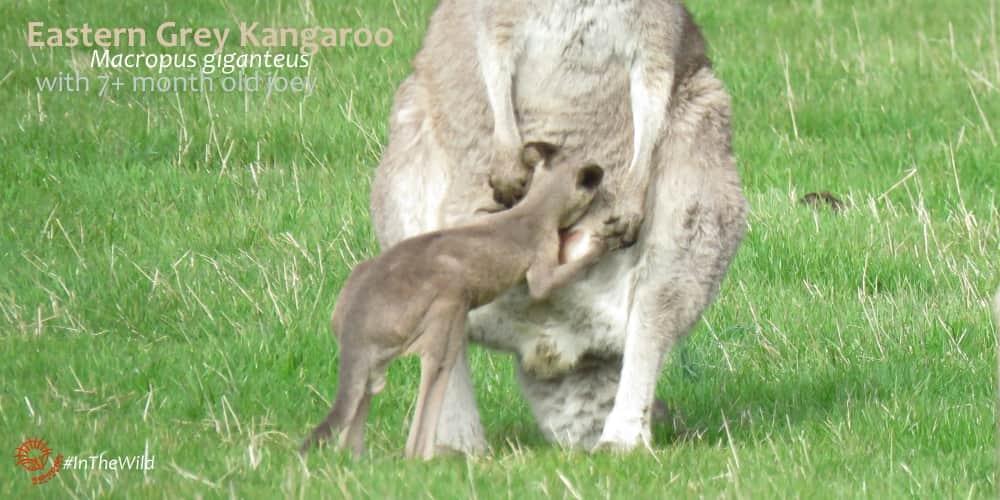 Fakty o kangurach joey