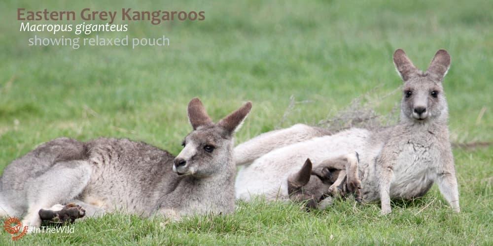 Group of female Eastern Grey Kangaroos with joey