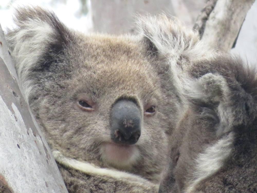koala mother ngardang you yangs