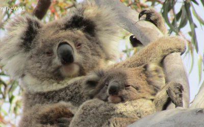 About Koala Ngardang