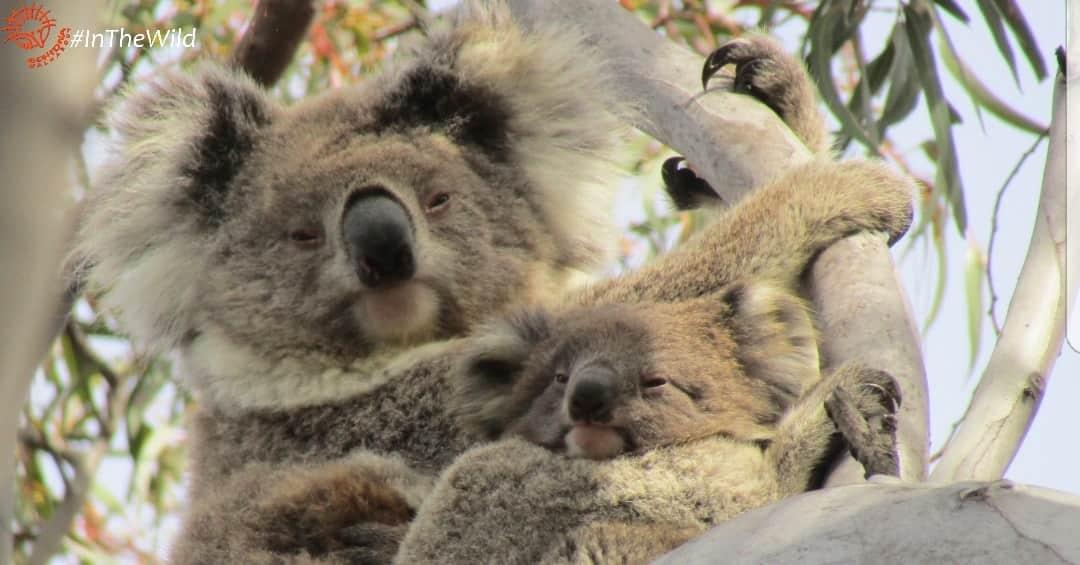 wild koala female with joey cuddling
