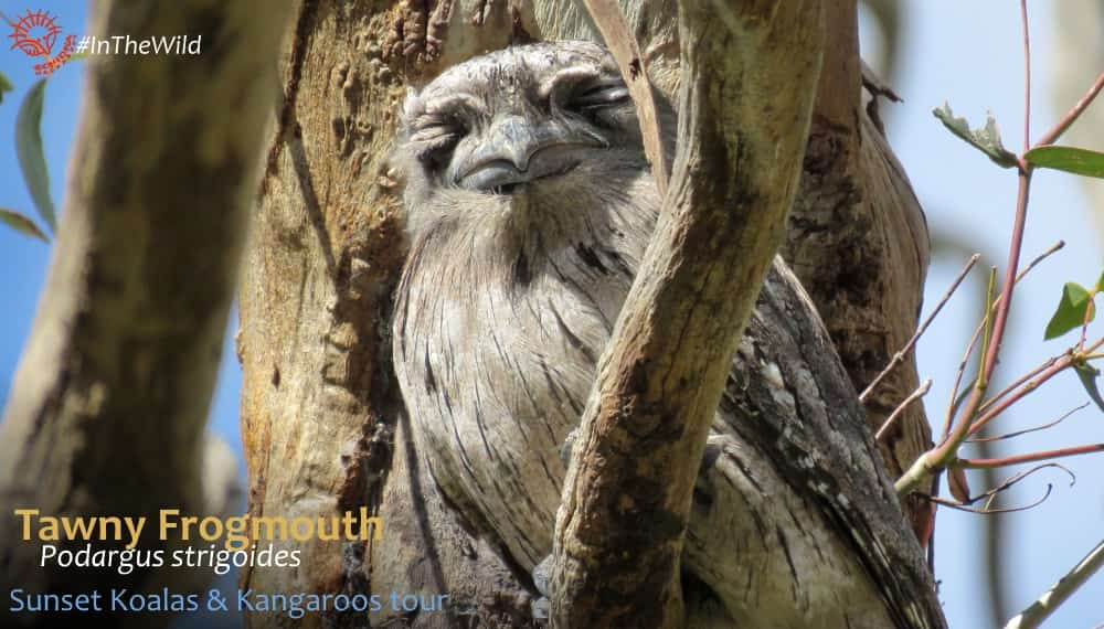 frogmouth bird on branch eyes closed