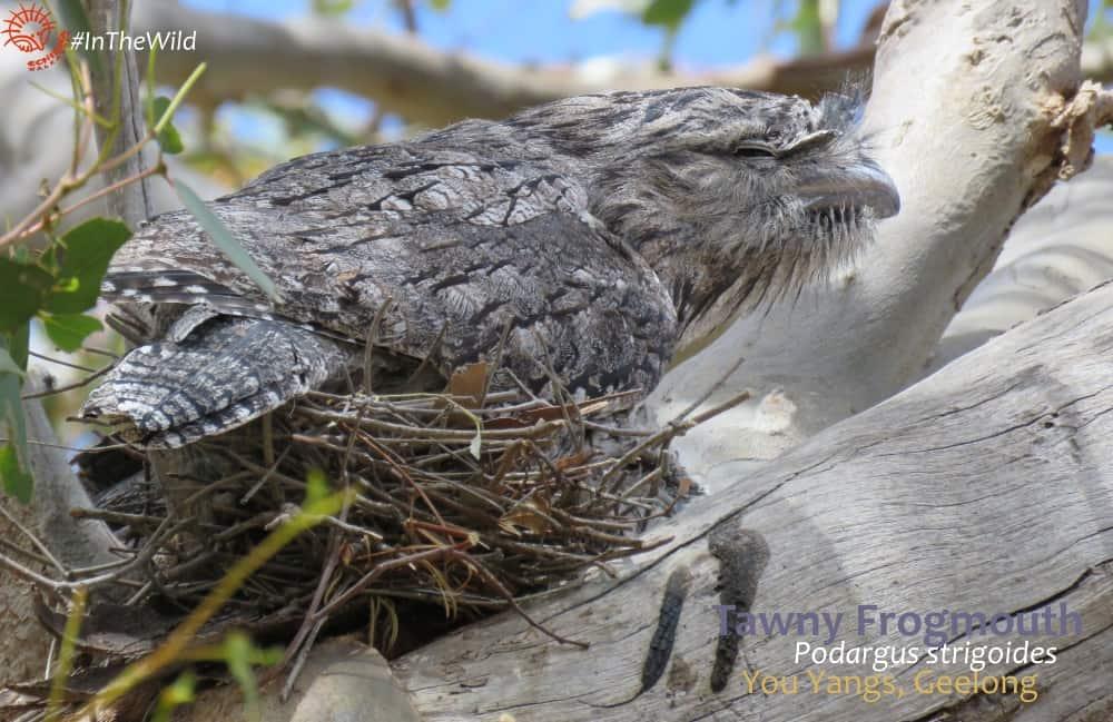 Australian nocturnal bird on nest