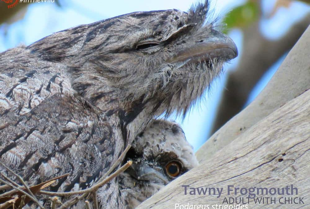 Tawny Frogmouth bird with chick on Sunset tour australia