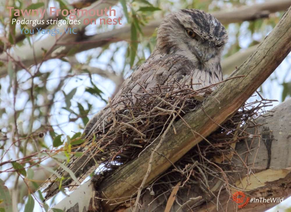 Tawny Frogmouth on nest crepuscular tour Melbourne Australia