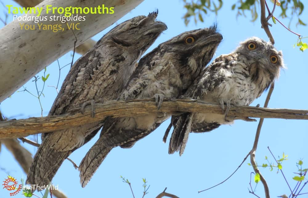 family of frogmouth birds You Yangs Australia
