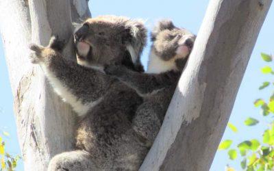 About Koala Wemba