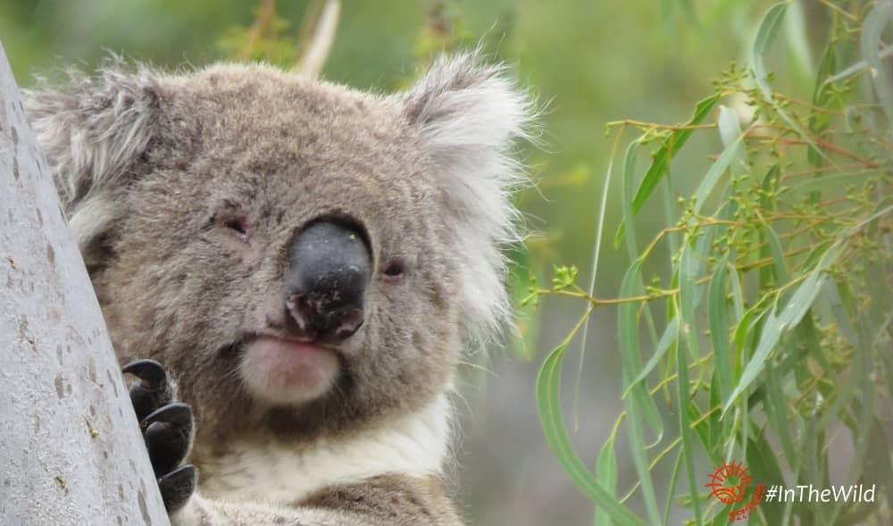 alpha male koala