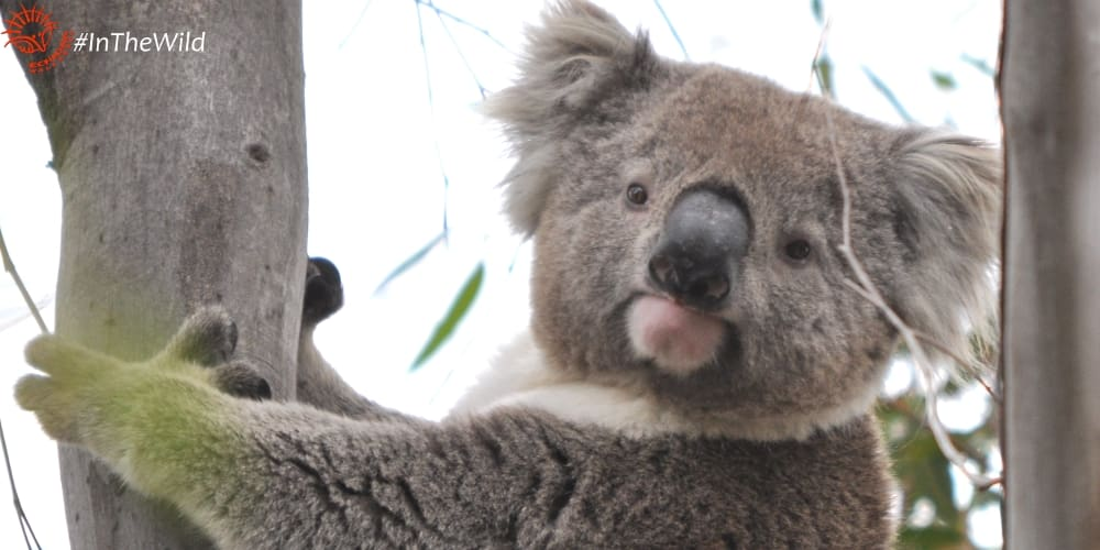 mature male koala in the you yangs