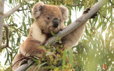 About Koala Bungaleenee