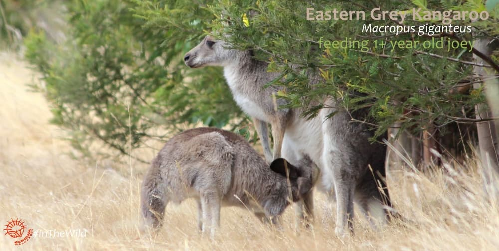 Big Kangaroo joey over 1 year old nursing