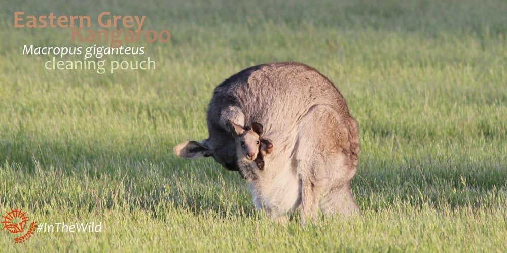 Kangaroo joey facts