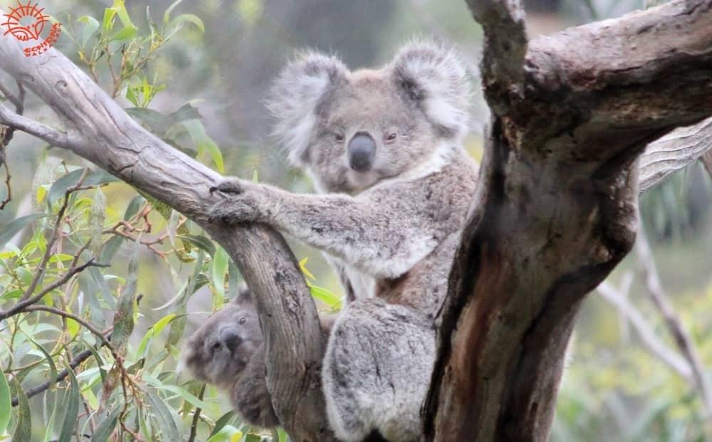 koala joey peeking at camera