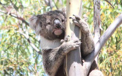 About Koala Winberry