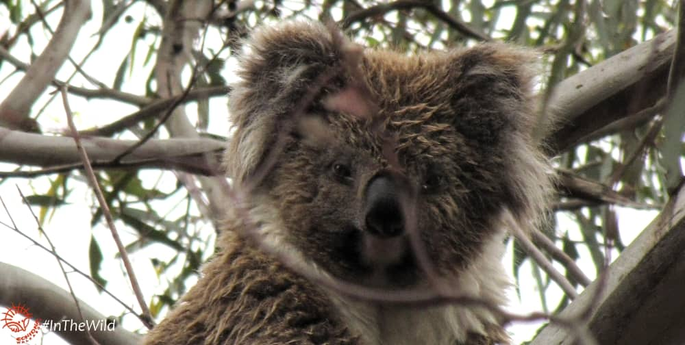 young female koala