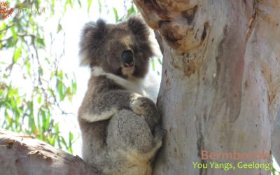About Koala Bermborok