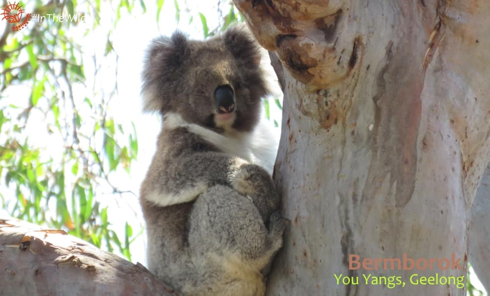mature female koala in YOu Yangs