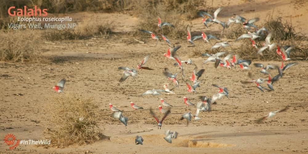 galah cockatoos flying photography