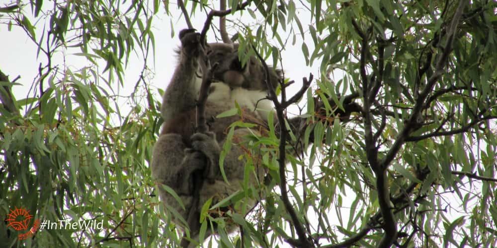 koala Jandamarra 2017
